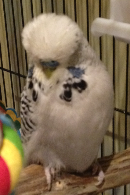 Help with my budgies mutation?-boreas1.png
