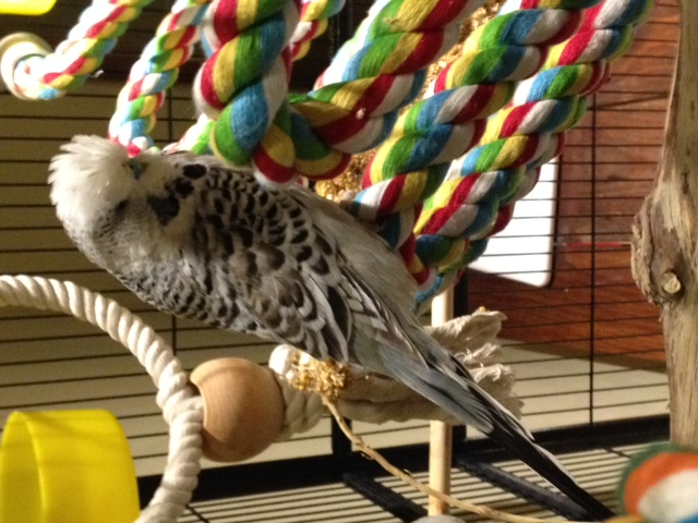 Help with my budgies mutation?-boreas2.jpg