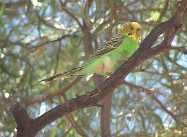 Traveling to see Budgies in the wild is amazing!-bowrastationbudgiefemalealone.jpg
