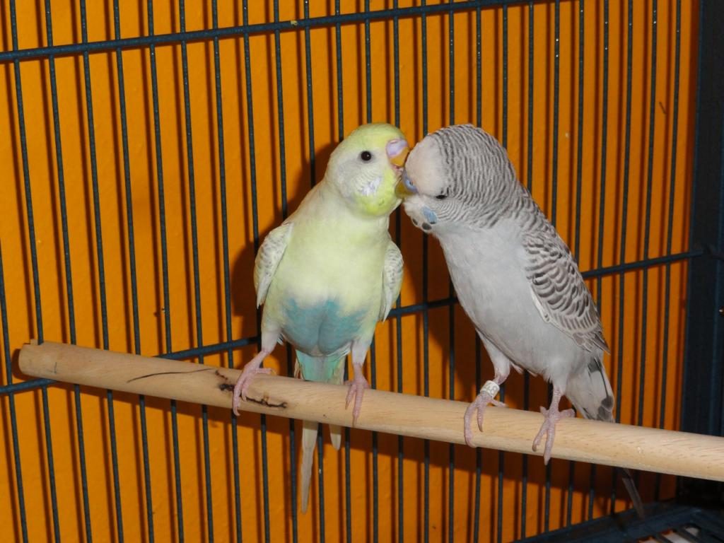 Is my grey budgie also greywing or is this cinnamon?-brucesimon.jpg
