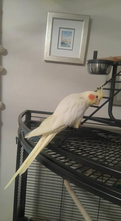 Back and thinking of adopting cockatiels!-buddy.jpg
