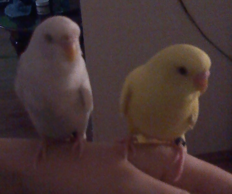 What is the sex of my new budgie friends?-budg.jpg