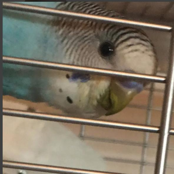 Is this a respiratory infection or just some food stains?-budgie-2.jpg