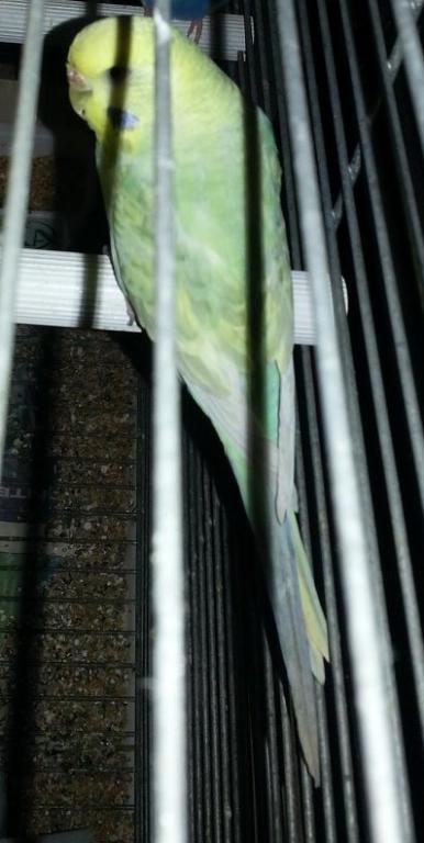 My Quest for a Rainbow budgie-budgie-5-maria-yf2-opaline-dilute.jpg