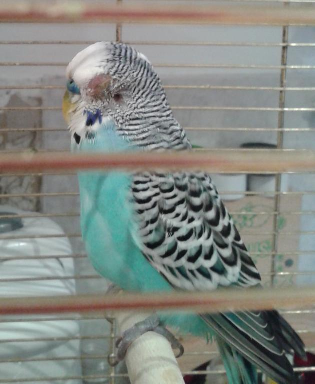 Poorly Eye and Ear visible-budgie.jpg