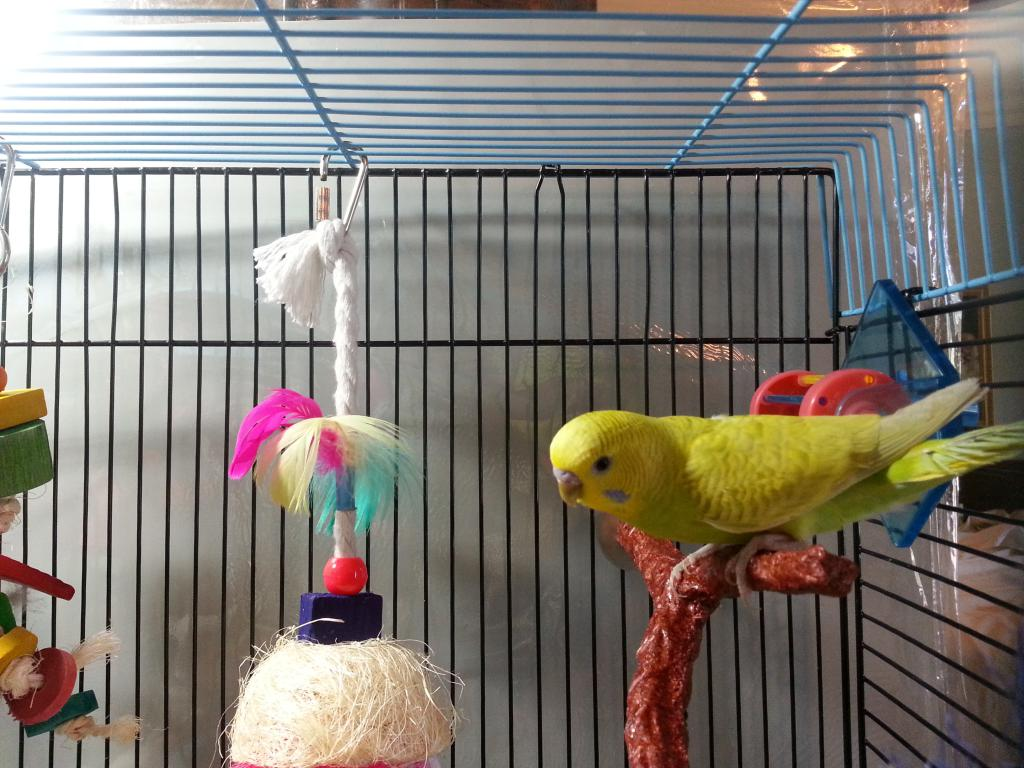 And here is the third budgie in my little flock-budgie.jpg