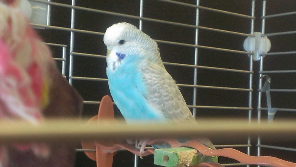What colour is Perdita-budgie-perditas-brother.jpg