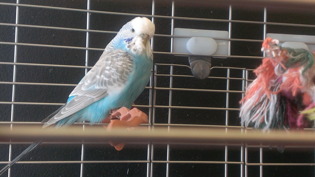 What colour is Perdita-budgie-perditas-sister.jpg