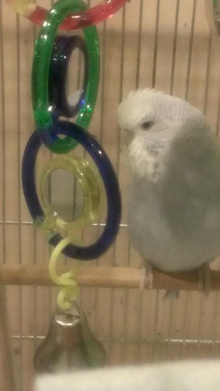What colour is Perdita-budgie-what-colour-perdita-3.jpg