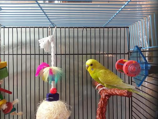 And here is the third budgie in my little flock-budgie2.jpg