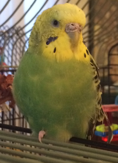 The One-Toed Budgie-budgie_cropped.png