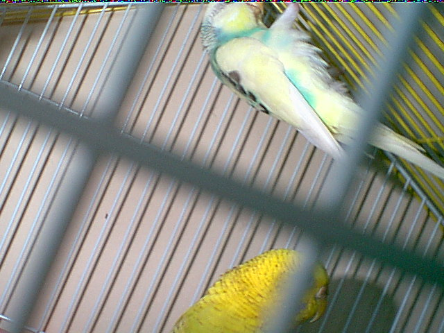Gender and Mutation Confirmations-budgies-001.jpg