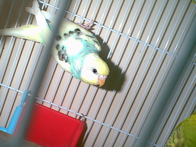 Gender and Mutation Confirmations-budgies-004.jpg
