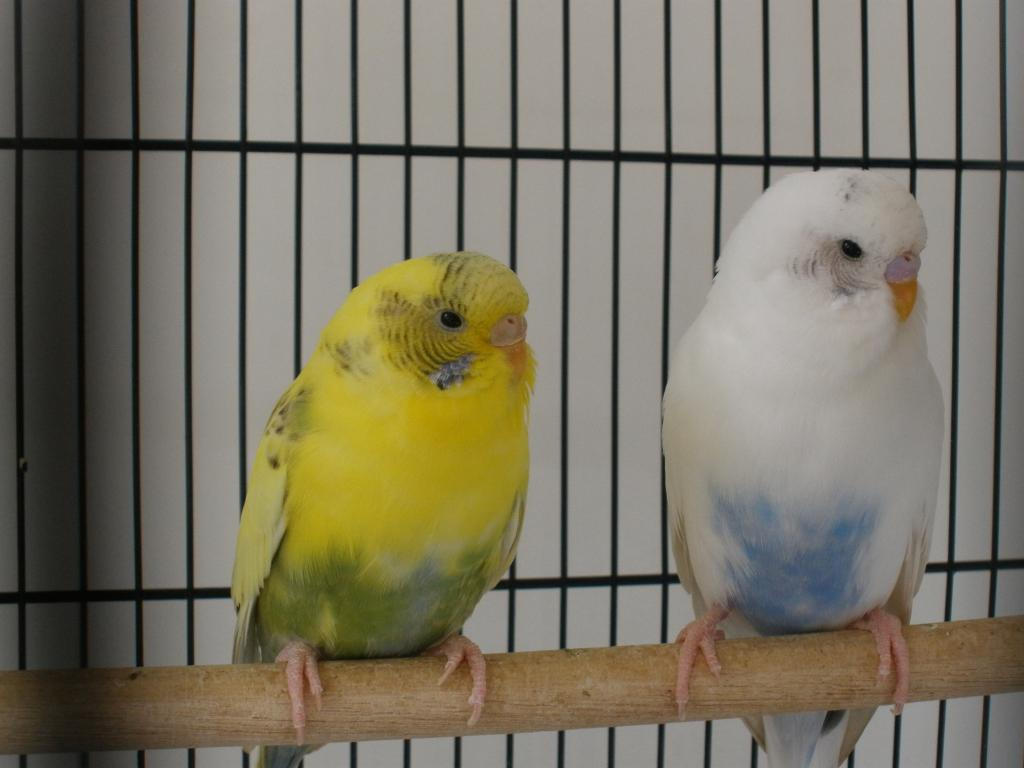 What mutations are Romeo and Juliet?-budgies-005.jpg