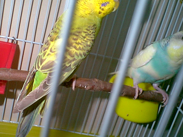 Gender and Mutation Confirmations-budgies-005.jpg