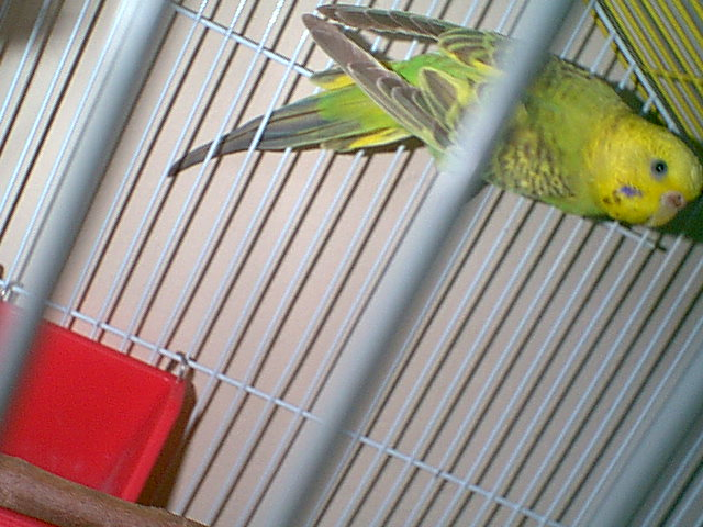 Gender and Mutation Confirmations-budgies-006.jpg