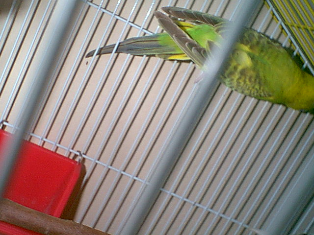 Gender and Mutation Confirmations-budgies-007.jpg