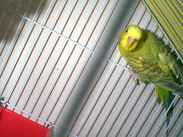 Gender and Mutation Confirmations-budgies-008.jpg