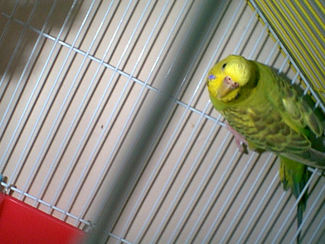 Gender and Mutation Confirmations-budgies-009.jpg