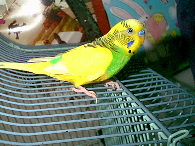 Gender and Mutation Confirmations-budgies-010.jpg