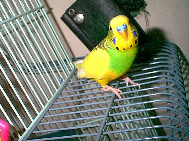 Gender and Mutation Confirmations-budgies-012.jpg
