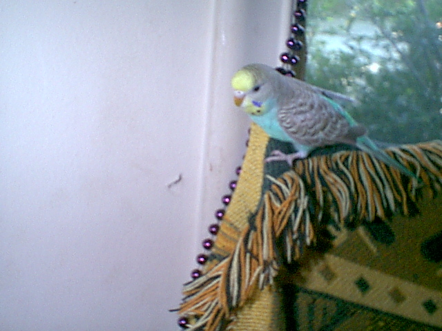 Gender and Mutation Confirmations-budgies-013.jpg