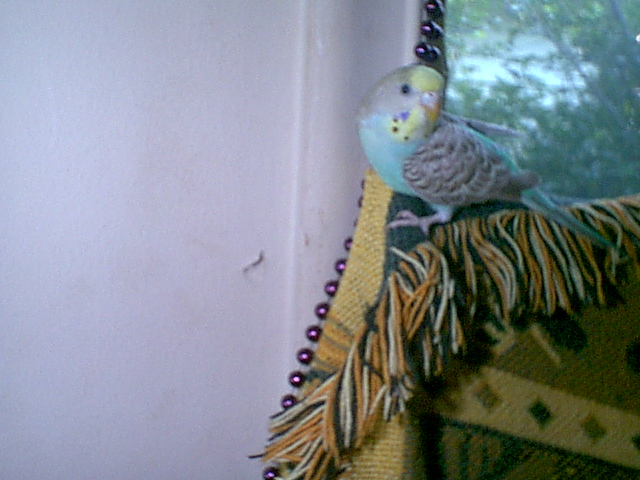 Gender and Mutation Confirmations-budgies-014.jpg