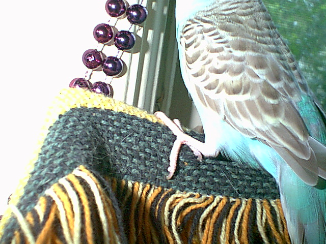 Gender and Mutation Confirmations-budgies-016.jpg