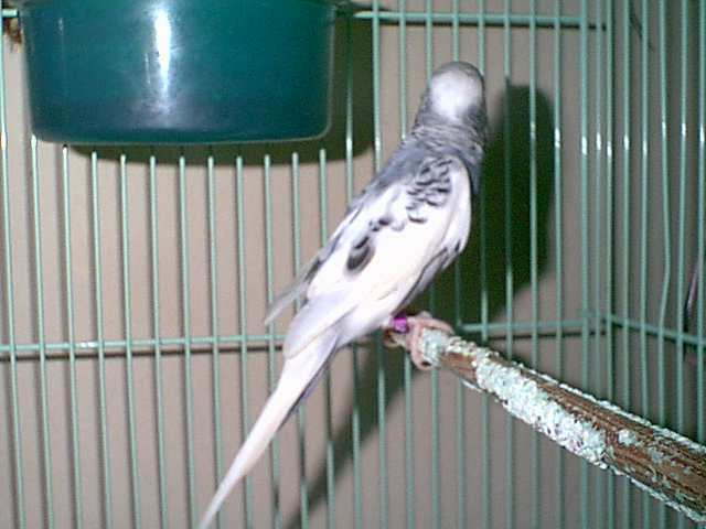 Gender and Mutation Confirmations-budgies-018.jpg
