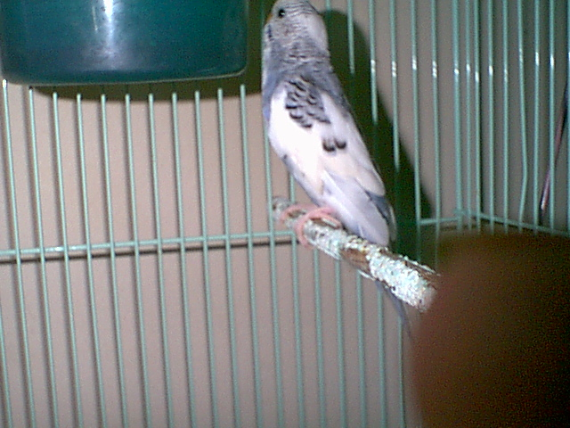 Gender and Mutation Confirmations-budgies-022.jpg