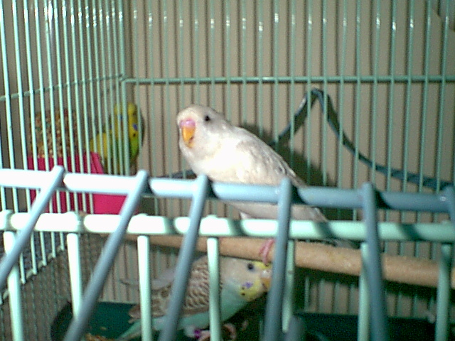Gender and Mutation Confirmations-budgies-023.jpg