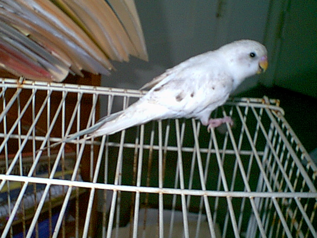 Gender and Mutation Confirmations-budgies-028.jpg