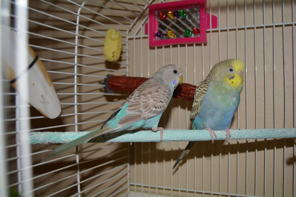 New Budgie owner-budgies-2.jpg