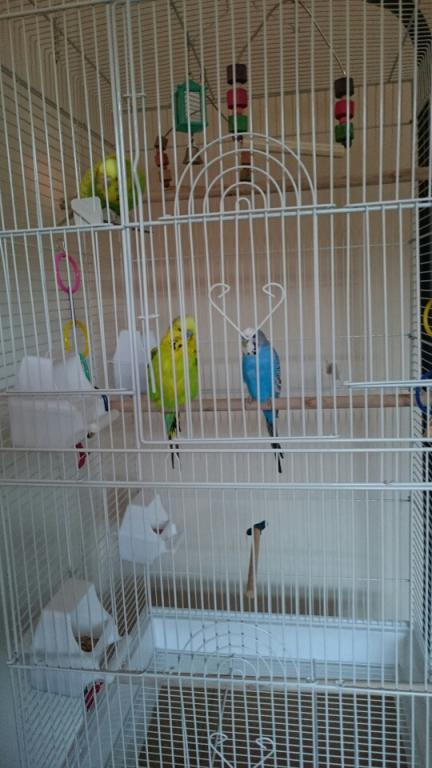 Female Agression Help(Love Hate relationship)-budgies.jpg