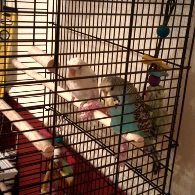 Pictures of my new budgies Geoffrey & Giggles-budgies.jpg