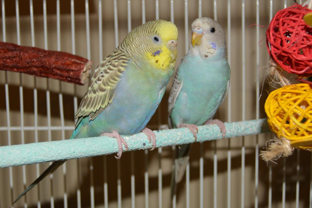 New Budgie owner-budgies.jpg