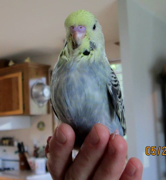 Inquiring minds would like to know what colour Parley is-budgies-parley-baby-photo.jpg