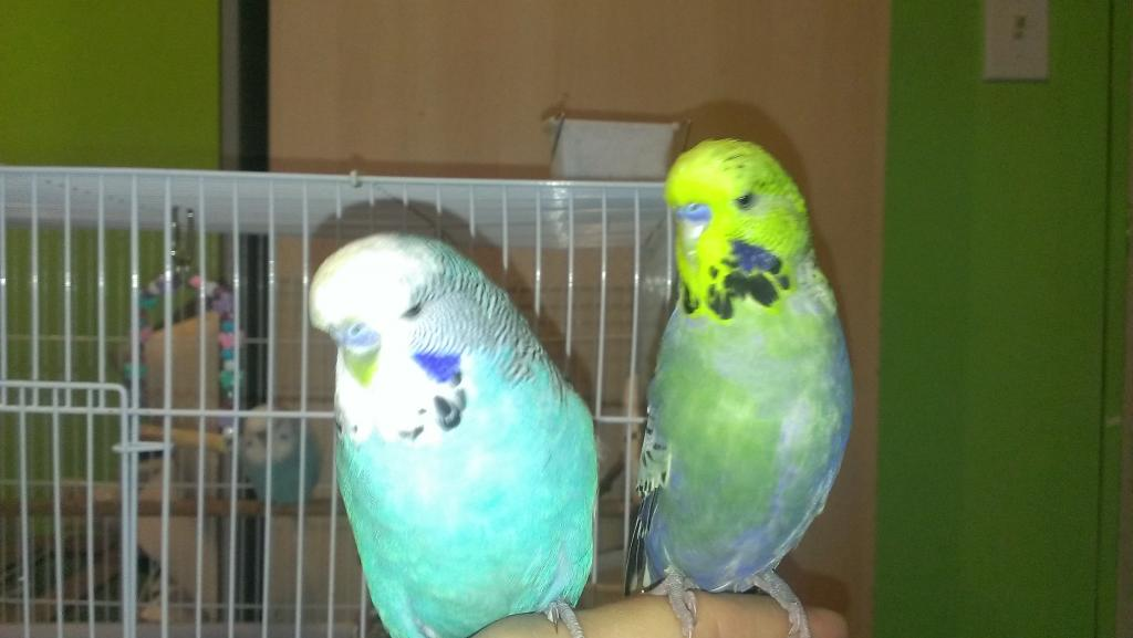 Inquiring minds would like to know what colour Parley is-budgies-what-colour-parley-now-sept-17-2013-3.jpg