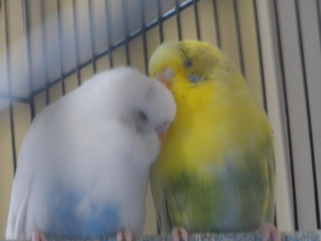 What mutations are Romeo and Juliet?-budgies2-007.jpg
