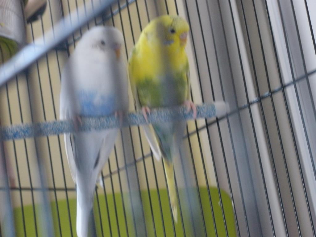 What mutations are Romeo and Juliet?-budgies2-010.jpg
