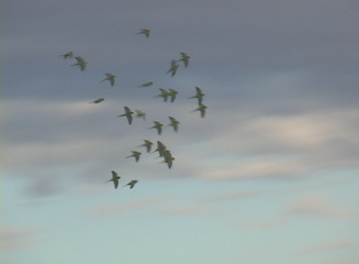 Traveling to see Budgies in the wild is amazing!-budgiesflight.jpg