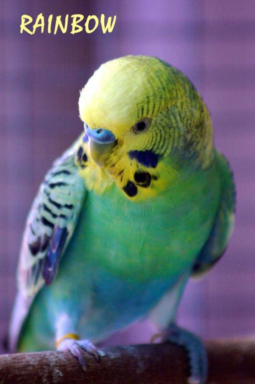 Gradual Colour changing bird...-budgy03-2010_0101e1.jpg