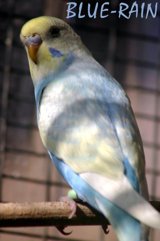 Gradual Colour changing bird...-budgy0811_0013e1s.jpg