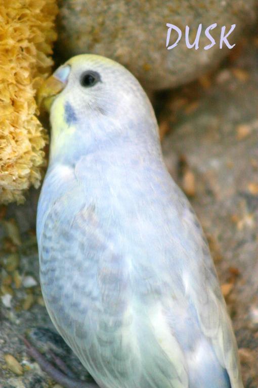 Gradual Colour changing bird...-budgy0811_0076e1s.jpg