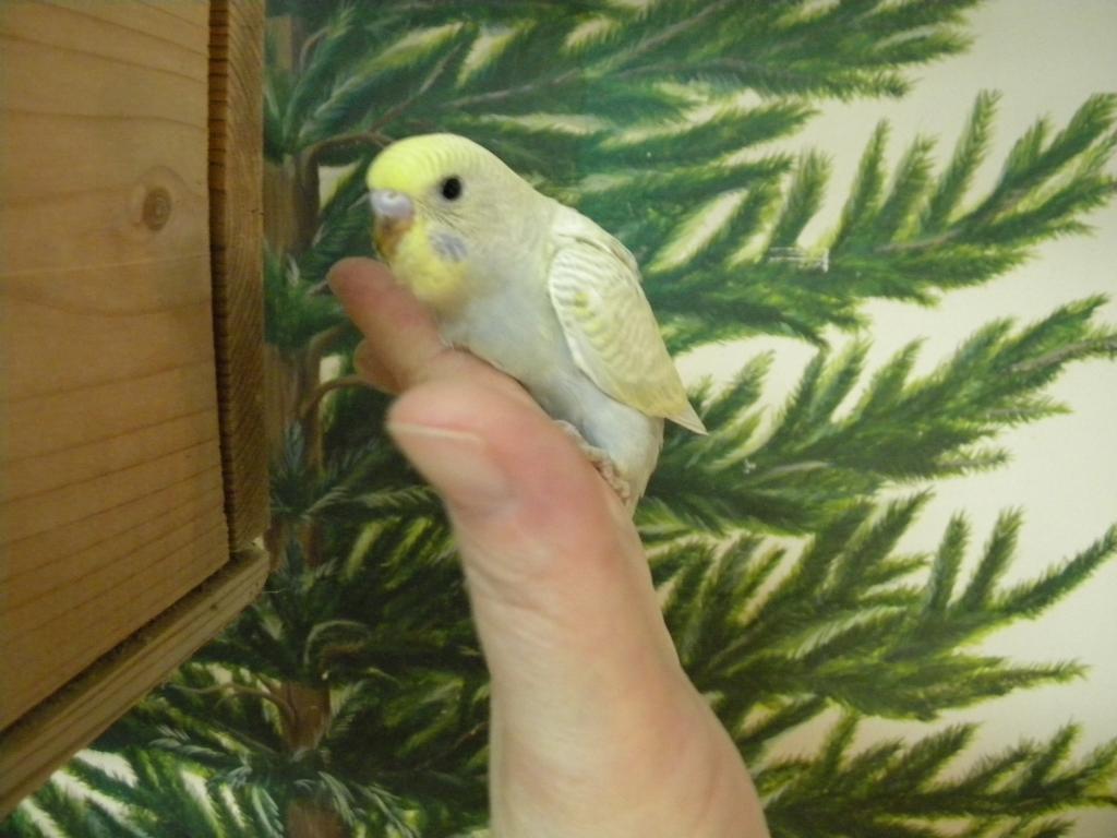 Mutaion help-budhies-parrots-110.jpg