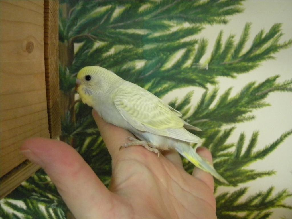 Mutaion help-budhies-parrots-111.jpg