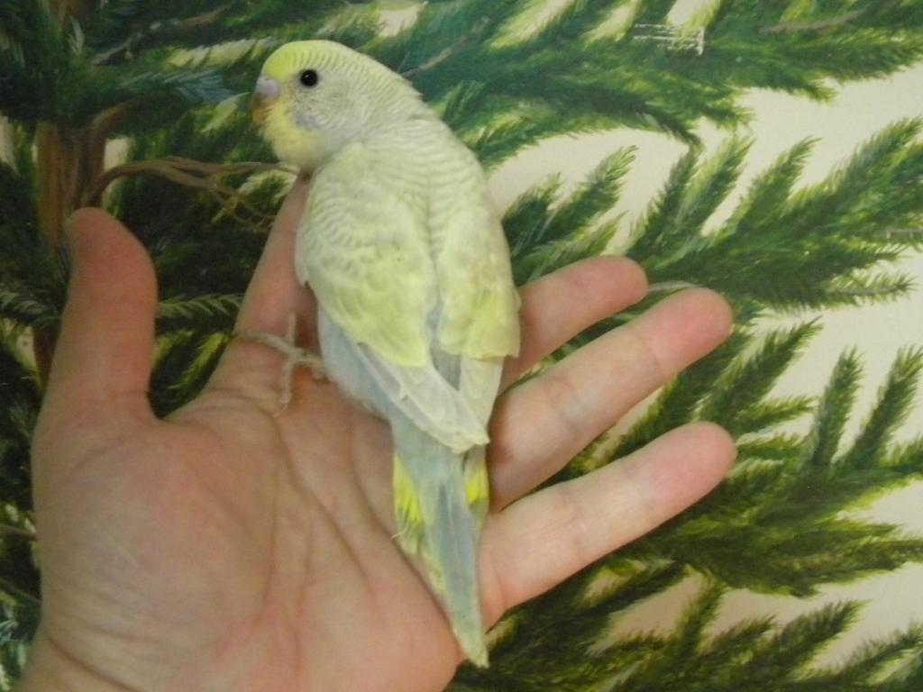 Mutaion help-budhies-parrots-463.jpg