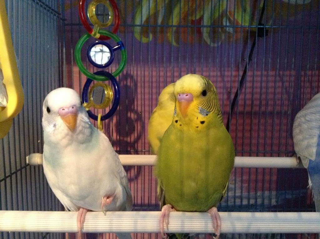 What mutation is my budgie?-canopy-snowy.jpg