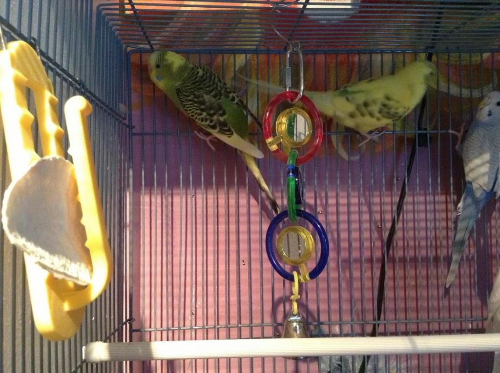 What mutation is my budgie?-canopy-left-side.jpg