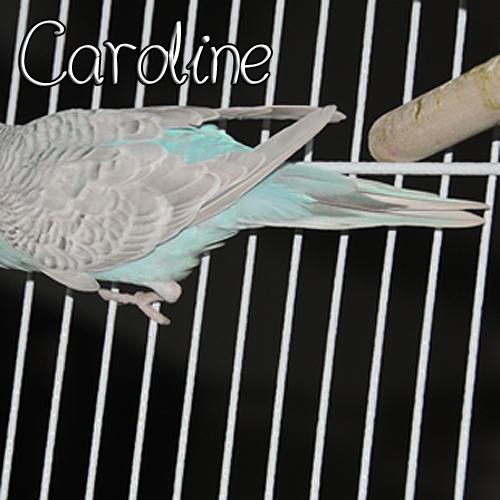 Greywing OR Dilute?-carolinetail.jpg